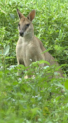 Agile-wallaby-in-grass.jpg
