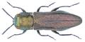 Agrilus margotanae Novak, 2001.png