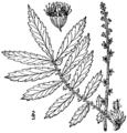 Agrimonia parviflora BB-1913.png