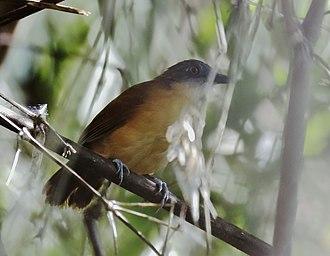 Goeldi's antbird - male above, female below