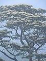 Albizia chinensis-3-chemungi-kerala-India.jpg