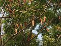 Albizia odoratissima fruit 03.JPG
