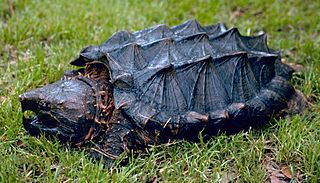 Alligator snapping turtle heaviest freshwater turtle in the world
