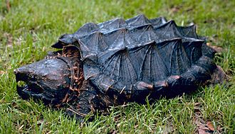 Alligator snapping turtle - Image: Alligator snapping turtle
