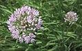 Allium angulosum-1F.jpg
