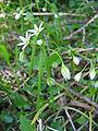 Allium pendulinum.jpg