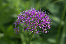 Allium wallichii GotBot 2015 004.jpg