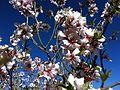 Almond Flower 02.JPG