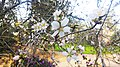 Almond Tree Israel.jpg