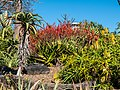 Aloe spp in Arid Zone garden Brisbane Botanic Gardens Mt Coot-tha L1020653.jpg