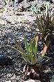 Aloe vera002.JPG