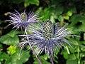Alpen-Mannstreu (Eryngium alpinum) 04.jpg
