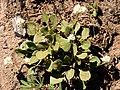 Alpine Buckwheat (6d203bd9e5e7479eac7e0202cf7f04a1).JPG