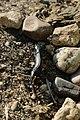Alpine newt - Ichthyosaura alpestris (42072585161).jpg