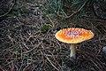 Amanita muscaria (5) (30689914751).jpg