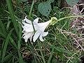 Amaryllis belladonna L. (AM AK330553-1).jpg