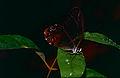 Amber Phantom (Haetera piera) (10649542313).jpg