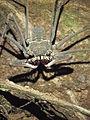 Amblypygid in the Ecuadorian Amazon.jpg