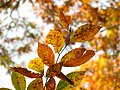American Beech Leaves - Flickr - treegrow (12).jpg