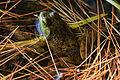 American Bullfrog (Rana catesbeiana) - Algonquin Provincial Park, Ontario 01.jpg