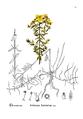 American Medicinal Plants-1-0175-30.png
