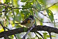 American Redstart - Lake Beaumaris (5783953869).jpg