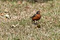 American Robin (43294904645).jpg