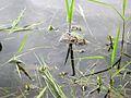 American Toads (Bufo americanus) - Flickr - Jay Sturner (4).jpg