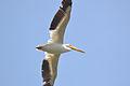 American White Pelican (Pelecanus erythrorhynchos) (14708336861).jpg
