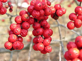American Winterberry Ilex verticillata 'Winter Red' Cluster 3264px.jpg