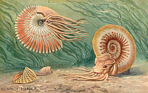 Historische Rekonstruktion lebender Ammonitentiere von Heinrich Harder. Als überholt gilt die Deutung der Arme als Cirren und der Anaptychen als Gehäusedeckel.
