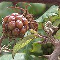 Amorebieta Dudea Rubus C.jpg