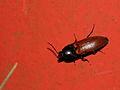 Ampedus pomorum ? (Elateridae) (8073726450).jpg