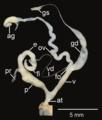 Amphidromus areolatus reproductive system.png