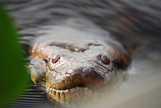 Green anaconda - Close-up of head