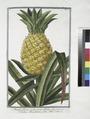 Ananas fructu ovato, carne albida - Carduus Brasilianus, foliis Aloes. (Pineapple) (NYPL b14444147-1125000).tiff