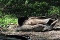 Anas platyrhynchos male (11).jpg