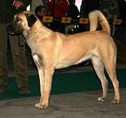 A female Anatolian Shepherd Dog
