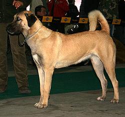 tibetansk mastiff hvalp