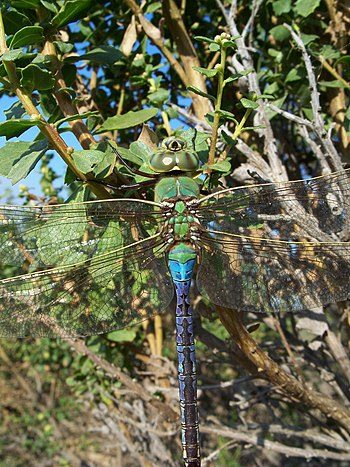 Anax junius-Male-2