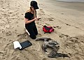 Andrea Dransfield, a BeachCOMBERS volunteer, examines a California brown pelican found on Silver Strand beach during her monthly survey. (35549064043).jpg