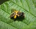 Andrena nigroaenea or A. scotica probably (49237585602).jpg