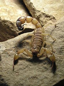 Rencontres mâle Scorpion