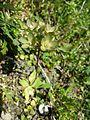 Androsace maxima sl54.jpg