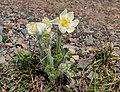 Anemone occidentalis in Garibaldi Provincial Park (DSCF1755).jpg