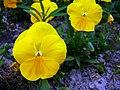 Angiosperms in iran گلها و گیاهان گلدار ایرانی 15.jpg
