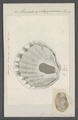 Anomia ephippium - - Print - Iconographia Zoologica - Special Collections University of Amsterdam - UBAINV0274 074 06 0004.tif