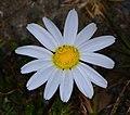 Anthemis cotula inflorescence (08).jpg