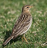 Anthus cervinus by pdsoki.jpg