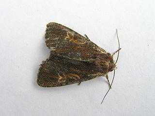 <i>Apamea crenata</i> Species of moth